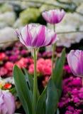 De tulpen van de bloem Stock Fotografie