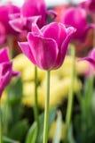 De tulpen van de bloem Royalty-vrije Stock Fotografie