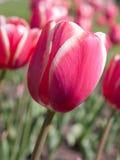 De tulpen van de close-up Royalty-vrije Stock Afbeeldingen