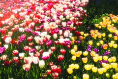 De tulpen van de de lentebloem Stock Afbeelding