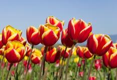 De Tulpen van de hemel Stock Afbeelding