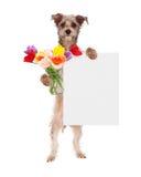 De Tulpen van de hondholding en Leeg Teken Royalty-vrije Stock Foto's