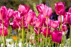 De tulpen van de kleur royalty-vrije stock foto's