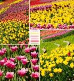 De tulpen van de kleur in de tuin Stock Fotografie