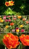 De tulpen van de kleur in de tuin Stock Foto