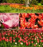 De tulpen van de kleur in de tuin Stock Afbeeldingen