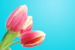 De tulpen van de lente Stock Afbeeldingen