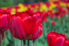 De tulpen van de lente. stock afbeelding
