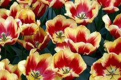 De Tulpen van de lente stock fotografie