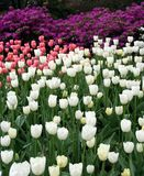 De Tulpen van de lente in Central Park Stock Fotografie