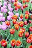 De tulpen van de tuin. royalty-vrije stock afbeeldingen
