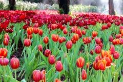 De tulpen van de tuin. stock afbeeldingen