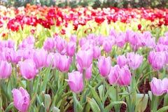 De tulpen van de tuin. stock fotografie