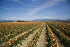 De Tulpen van de Vallei van Skagit Stock Foto's