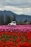 De Tulpen van de Vallei van Skagit Stock Foto