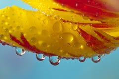 De tulpen van de vlam Royalty-vrije Stock Fotografie