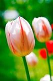 De tulpen van de zomer Royalty-vrije Stock Foto's