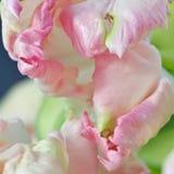 Het close-up van tulpen Stock Afbeelding