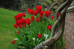 De tulpen van de lente in de tuin Stock Afbeelding