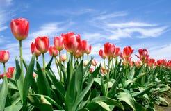 De tulpen van Sprin? in blauwe hemel Stock Afbeeldingen