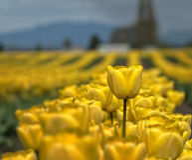 De tulpen vertegenwoordigen zich de lente en vooruit het bewegen Stock Fotografie