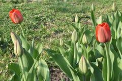 de tulpen in de vroege lente zijn niet allen bloeiden stock afbeelding