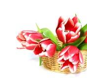 De tulpen in a wattled mand die op wit wordt geïsoleerds Stock Fotografie