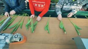 De tulpen worden op de transportband worden aangepast die De bloemenindustrie, bloemenproductie stock footage