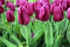 De tulpen zijn bloeiend stock afbeelding