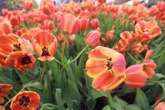 De tulpen zijn bloeiend in de tuin stock foto
