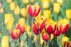 De tulpen zijn bloeiend in de vroege lente stock fotografie