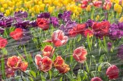 De tulpen zijn bloeiend in de vroege lente stock foto