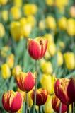 De tulpen zijn bloeiend in de vroege lente stock afbeelding