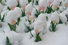 De tulpen zijn in de sneeuw Stock Fotografie
