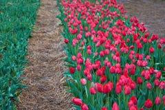 De tulpenbloei van Holland in een oranjerie in lentetijd stock fotografie