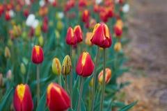 De tulpenbloei van Holland in een oranjerie in lentetijd royalty-vrije stock foto