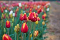 De tulpenbloei van Holland in een oranjerie in lentetijd stock afbeeldingen