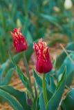De tulpenbloei van Holland in een oranjerie in lentetijd stock foto