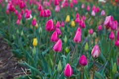 De tulpenbloei van Holland in een oranjerie in lentetijd stock afbeelding