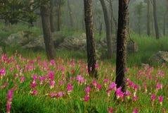 De tulpenbloem en boom van Siam Stock Afbeelding