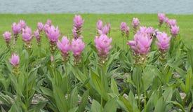 De tulpenbloem van Siam Royalty-vrije Stock Afbeeldingen