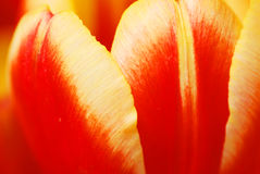 De tulpenbloemblaadjes Stock Foto's
