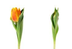 De tulpenbloemen van de lente die op wit worden geïsoleerdw Royalty-vrije Stock Afbeelding