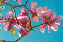 De tulpenboom van de magnolia Royalty-vrije Stock Afbeeldingen