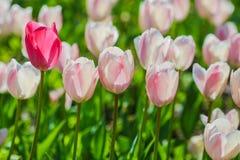 De tulpengebied van Holland De lente magisch van bloesem Nederlandse bloemen Kleurrijk bloeiend landschap Nederland, Lisse - Tulp stock afbeelding