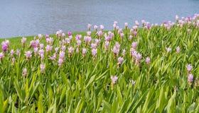 De tulpengebied van Siam met onduidelijk beeld zoete toon als achtergrond Stock Foto's