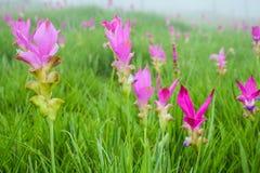 De tulpengebied van Siam in de mist royalty-vrije stock afbeelding