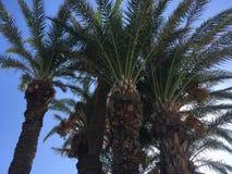 De Tunesische palm op blauwe hemel als achtergrond Stock Foto