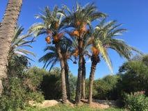 De Tunesische palm op blauwe hemel als achtergrond Stock Fotografie