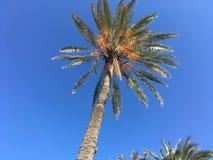 De Tunesische palm op blauwe hemel als achtergrond Royalty-vrije Stock Afbeelding